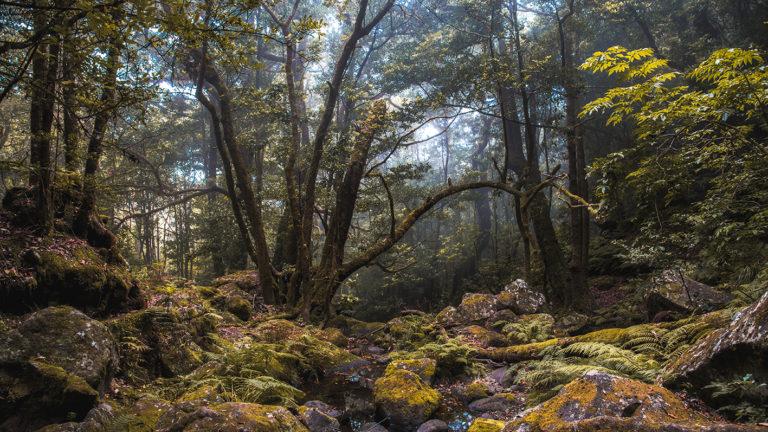 Leinwandbild - Verwunschener Lorbeerwald mit Nebel