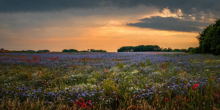 Leinwandbild - Buntes Blumenmeer auf Rügen
